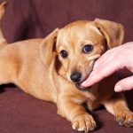 when do puppies stop teething